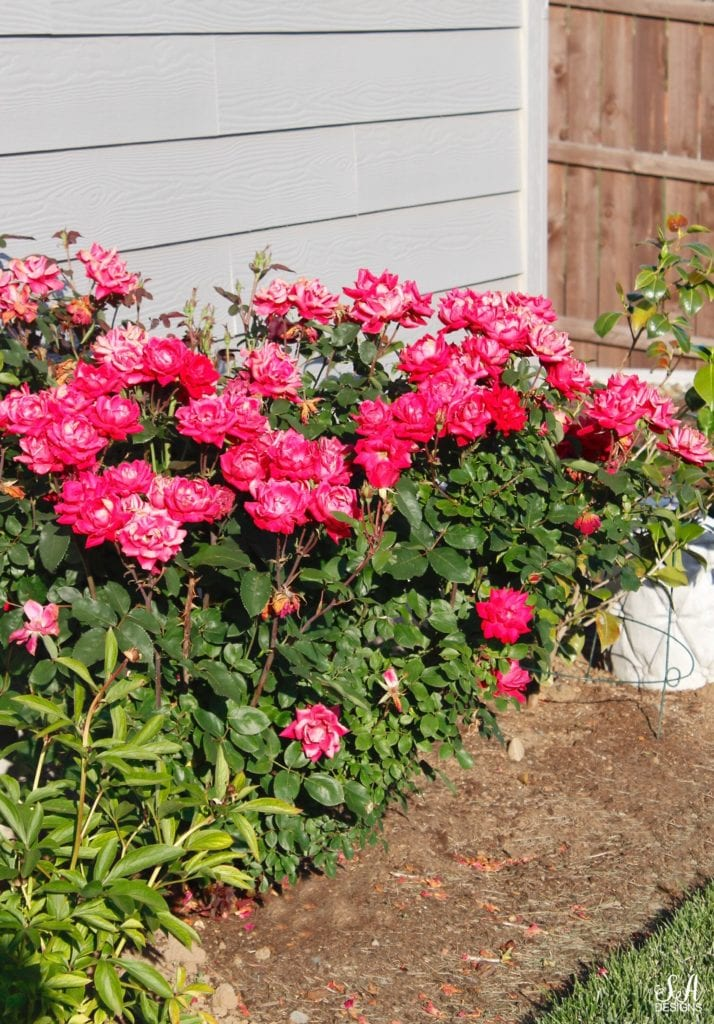 hot pink rose bush, pacific northwest gardening landscaping