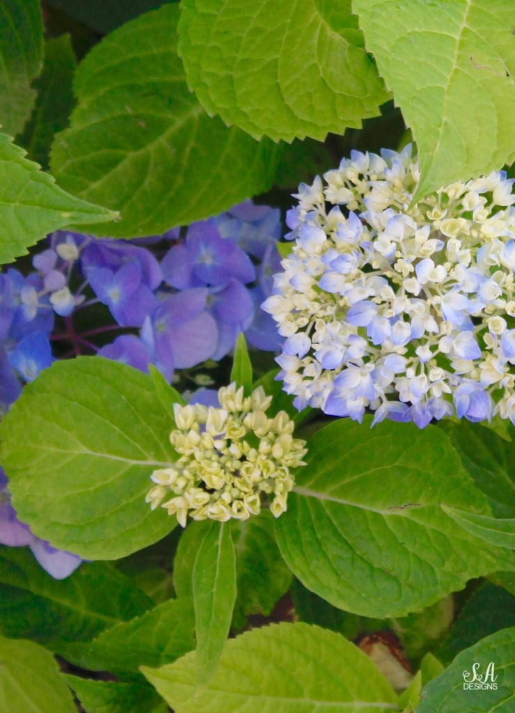 blue purple hydrangeas, pacific northwest washington gardening
